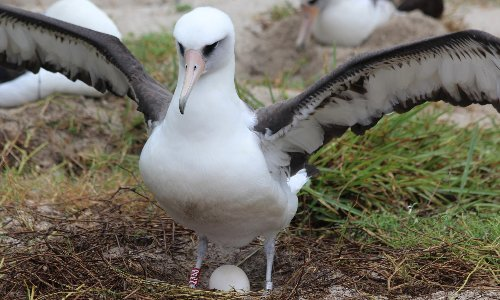 Wisdom the albatross, the world's oldest known wild bird, has another chick at age 70