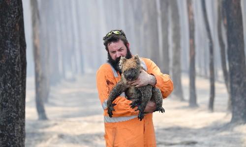 'Devastating': more than 61,000 koalas among 3 billion animals affected by bushfire crisis