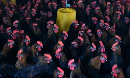 Factory farms of disease: how industrial chicken production is breeding the next pandemic