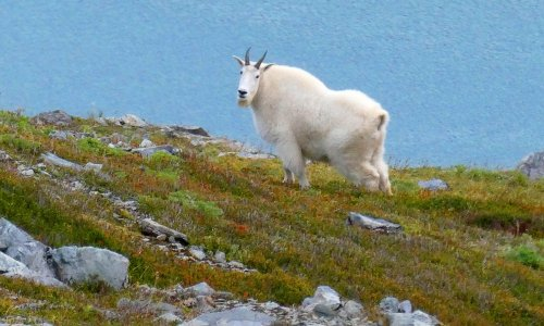 Canada: mountain goat kills attacking grizzly bear with 'dagger-like' horns
