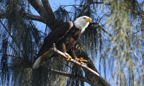 Rat poison found in bodies of 80% of American eagles