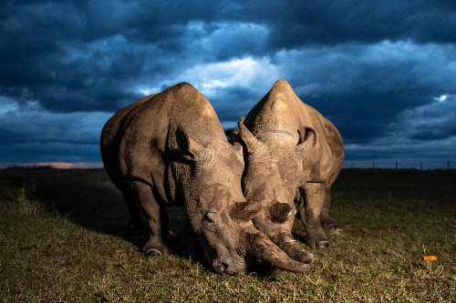 And then there were two: can northern white rhinos be saved from extinction?