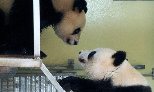 'Cooperative and rather active': joy as pandas mate in French zoo