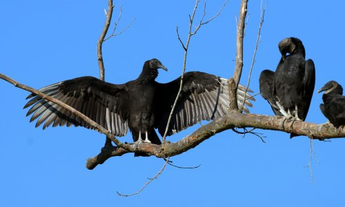 Vultures who came to stay bring year of acid vomit and toxic feces to small town