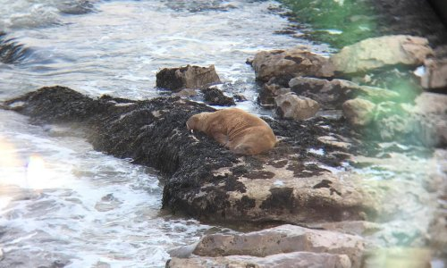 Mystery of the walrus spotted on rocks on the Welsh coast