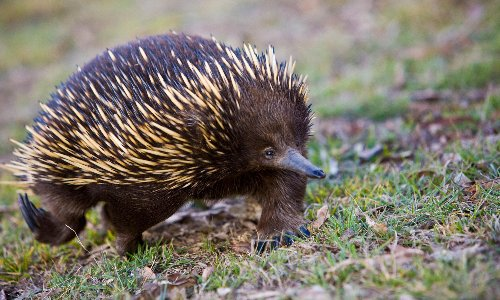 NSW floods: fears for echidnas and wombats trapped underground