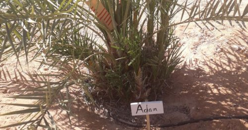 Scientists Resurrect Mysterious Judean Date Palms From Biblical Era