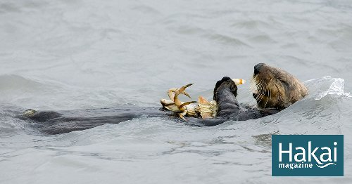 For California Crabbers, Sea Otters Are Not a Threat to Dungeness Catch | Hakai Magazine