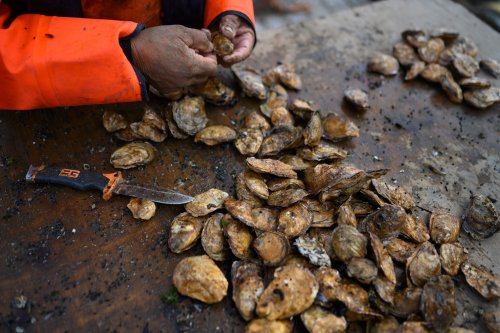 Freeing Oysters from a Parasite's Hold