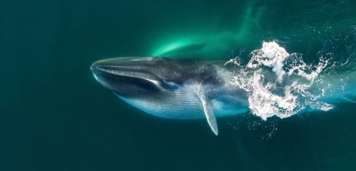 Elephant Island: An Oasis for Fin Whales in an Icy Sea