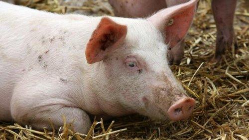 Konjunktur: Was uns Schweine und ein Sowjet lehren