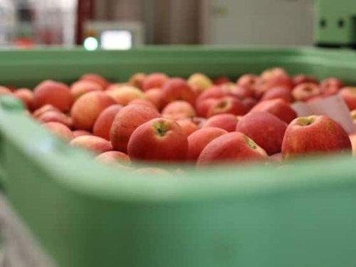 Kälte und Hagel lassen die Obsternte einbrechen   HZ
