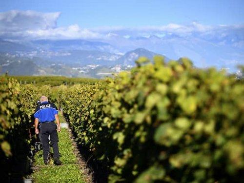 Diebe stehlen fast 8,3 Tonnen Weintrauben im Wallis | HZ