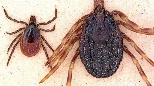 Zecken: Diese neuen Arten sorgen für Gefahr in Deutschland