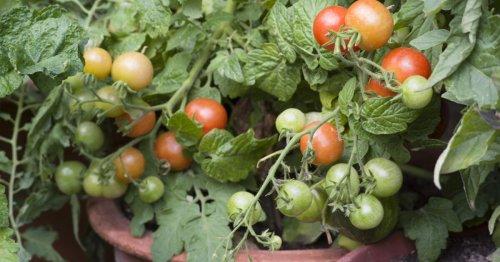 Tomaten im Topf: Vermeiden Sie diese 3 Fehler! - DAS HAUS