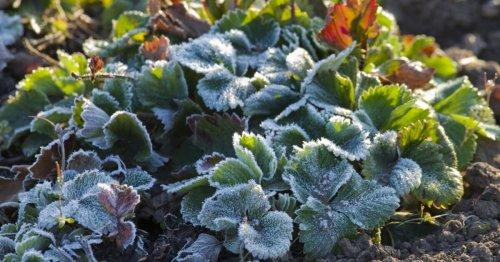 Erdbeeren überwintern: 3 Profi-Tipps - DAS HAUS