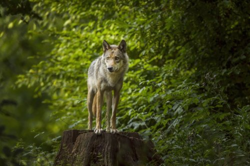 'We're thrilled': Another gray wolf has made its way to NorCal