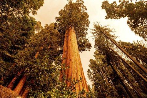 California wildfires make run toward giant sequoia groves