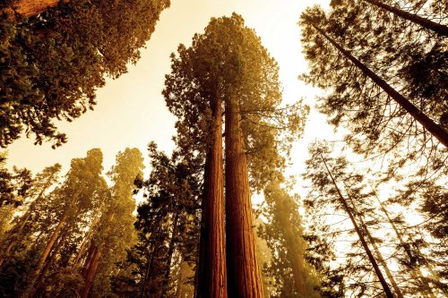 What likely saved the General Sherman Tree from wildfire flames