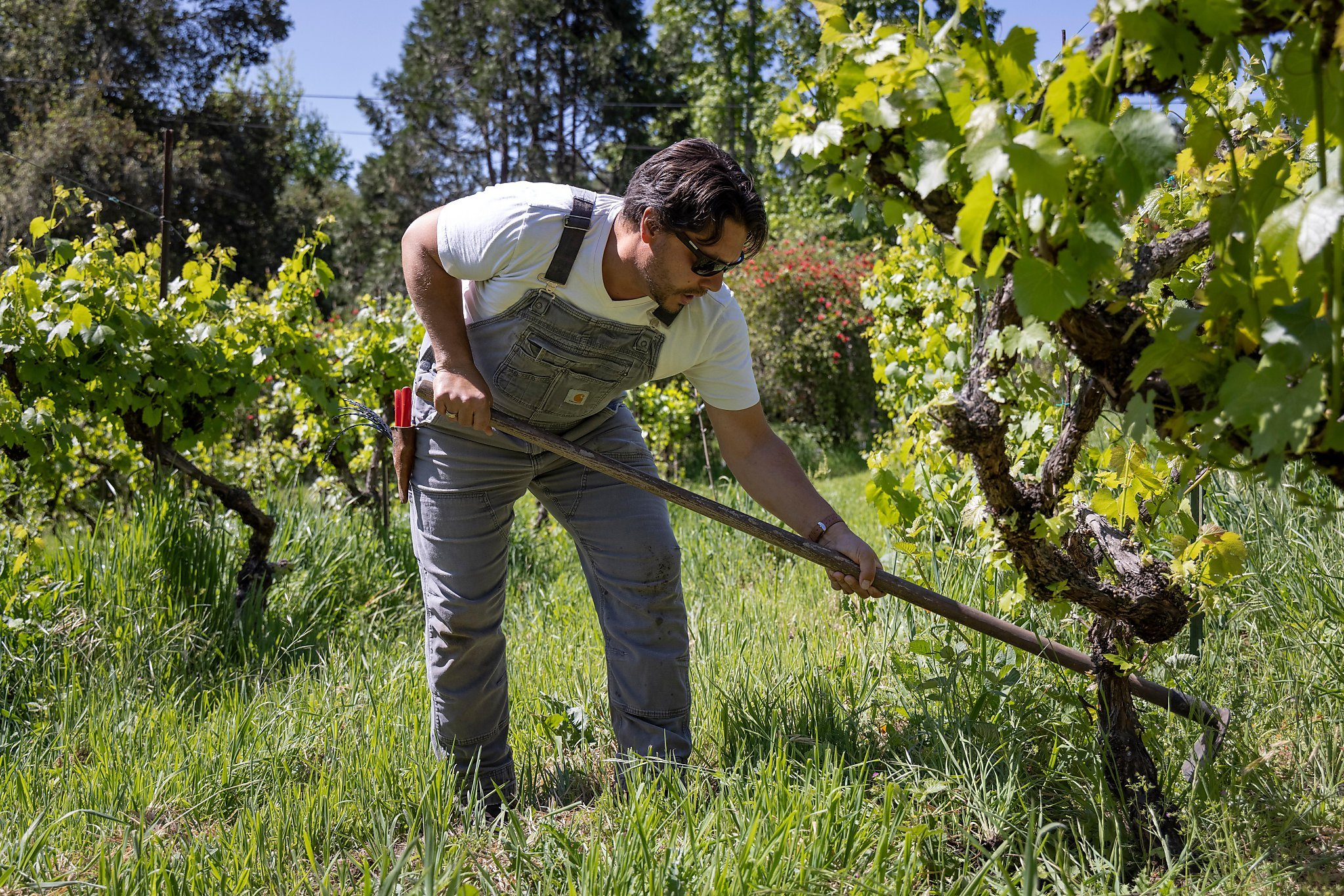 Indigenous North American grapevines, not the standard European varieties, may be California wine's answer to climate change