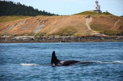 Grandmother whale in Washington's orca pods presumed dead