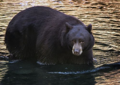 'Completely emaciated': The tragic, traumatic fate of Tahoe's Safeway Bear
