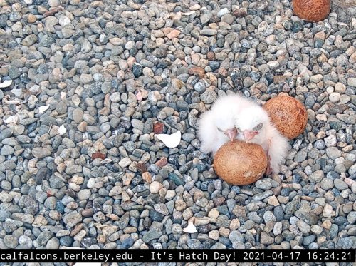 Berkeley's most-loved birds welcome fluffy baby chicks