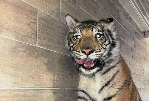 Missing Houston tiger found safe and now in custody, police say