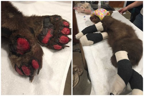In a brutal summer for Calif.'s bears, a burned cub is rescued