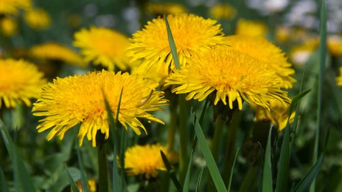 Health Benefits Of Dandelions You Never Expected