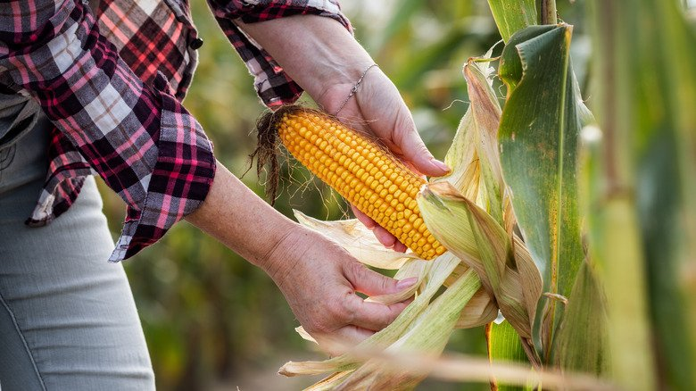 The Health Benefits Of Corn Explained