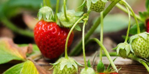How to grow strawberries, according to an expert