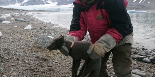 This Young Arctic Fox Walked 2,700 Miles From Norway to Canada