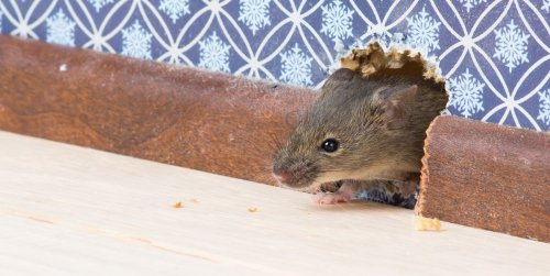 Learn How to Get Rid of Mice from Your Home with These Tips