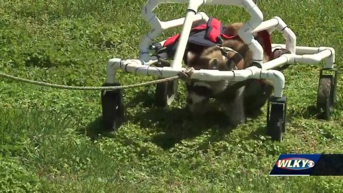 Central Hardin students design walker for disabled raccoon at wildlife sanctuary