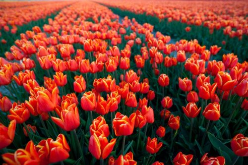 19 Facts Every Tulip Lover Should Know