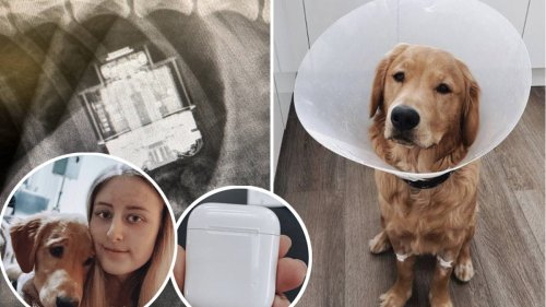 Dog who swallowed owner's AirPods undergoes removal operation, and the headphones still work