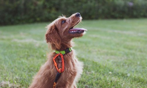 5 most obedient dog breeds that are easy to train