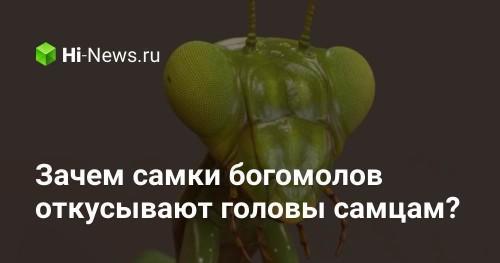 Зачем самки богомолов откусывают головы самцам? - Hi-News.ru