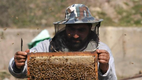 Honey is turning life sweeter for Kashmiris, 70k bee colonies come up