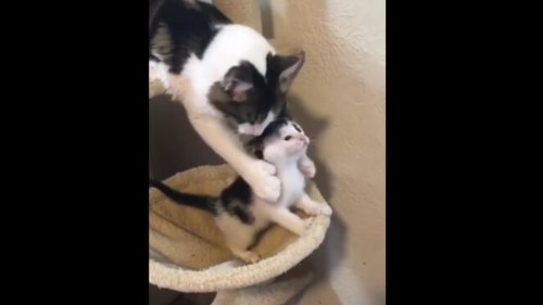 Mama cat stops baby kitten from falling. Cute clip wins hearts