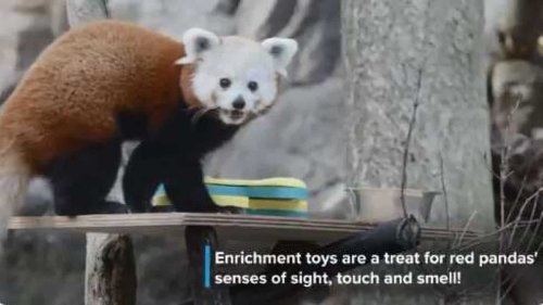 Red panda plays with its puzzle feeders. Watch cute video