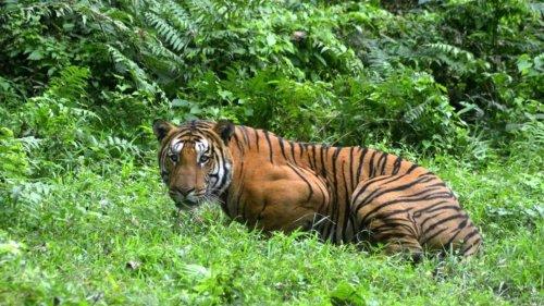 India's 14 tiger reserves set global standard in tiger conservation