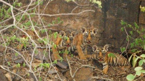 4 cubs born 2-yrs ago to Ranthambore tigress discovered, bring joy