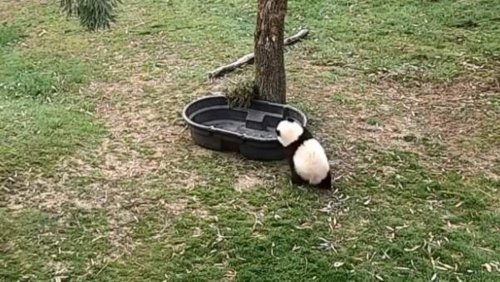 Spend a minute to watch this panda cub in a tub. You won't regret it