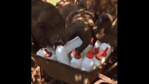 Baby elephants 'plot' a milk heist. Watch adorable video