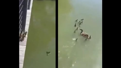 Ducklings taking the 'leap of faith' is the cutest thing you'll see today