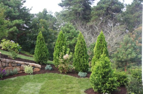 What You Need To Know About The Emerald Green Arborvitae