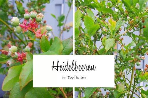 Heidelbeere im Topf halten- Tipps & Tricks für Terrasse und Balkon