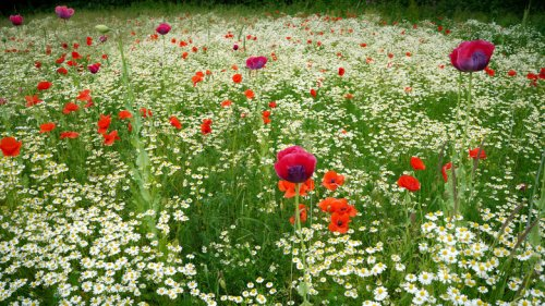 Mistakes Everyone Makes When Planting Poppies